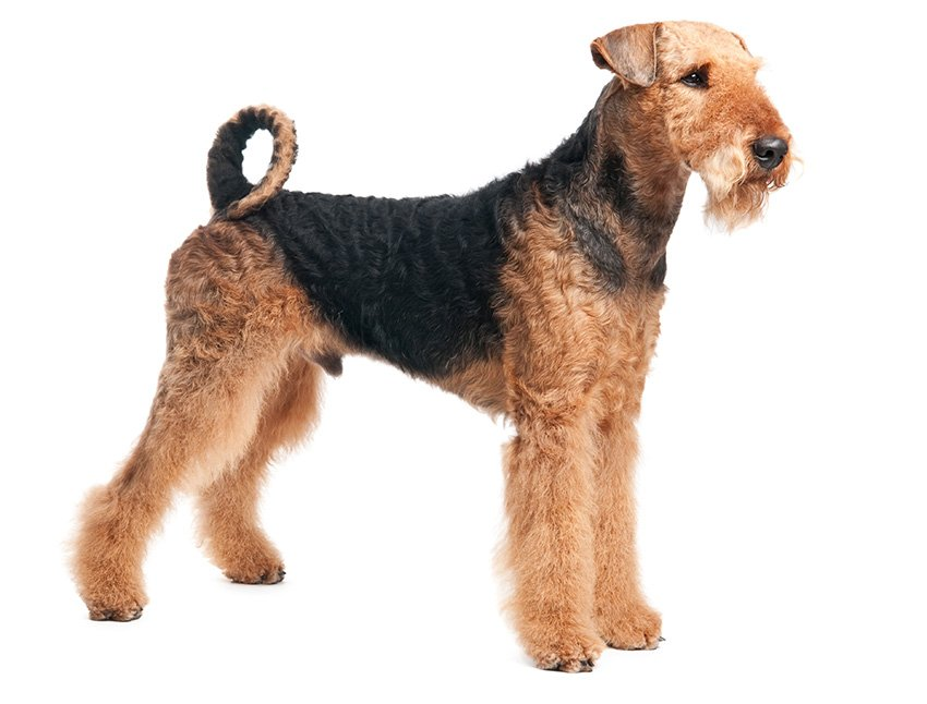 airedale terrier tout sur cette race de chien. Black Bedroom Furniture Sets. Home Design Ideas