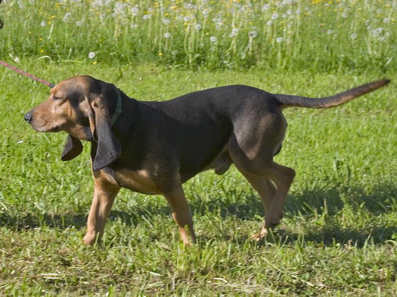Bruno Saint Hubert Français : tout sur cette race de chien