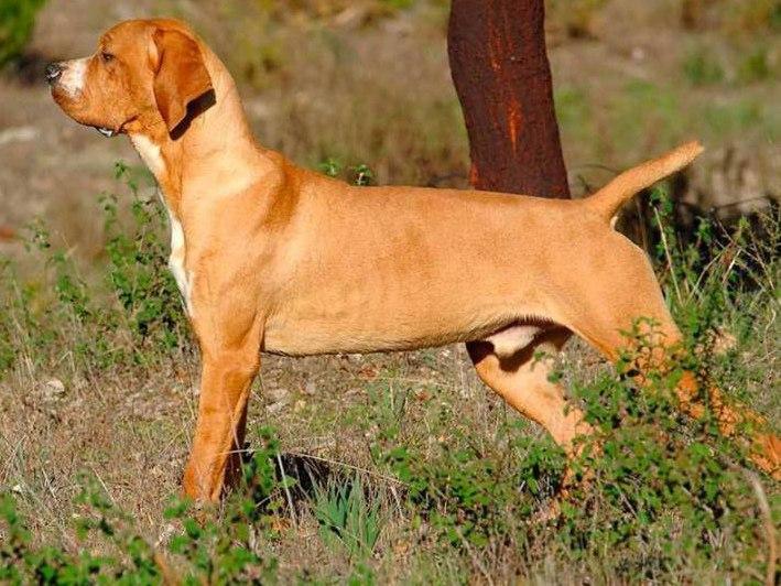Braque Portugais : tout sur cette race de chien