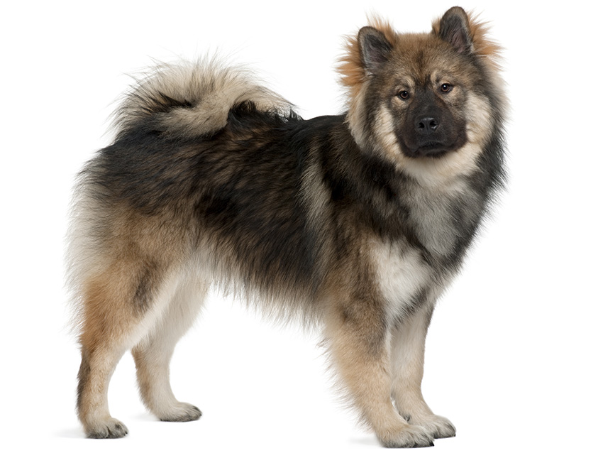club de race eurasier
