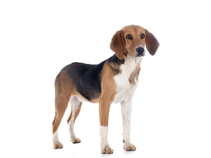 Harrier : tout sur cette race de chien