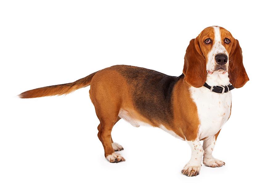 Basset Hound : tout sur cette race de chien