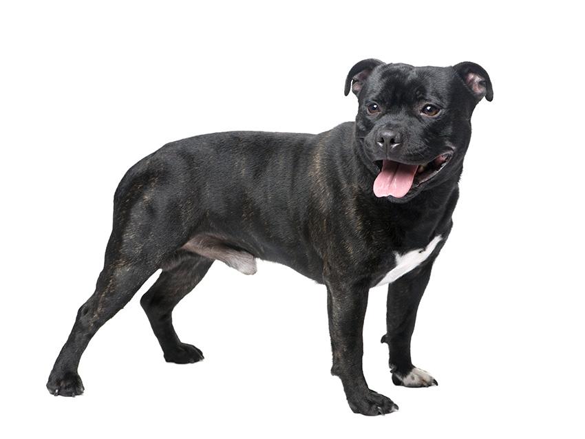 Petites Annonces Staffordshire Bull Terrier Adoption Vente Don Saillie