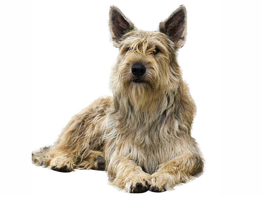 Berger Picard Picture Dog Breeds Picture