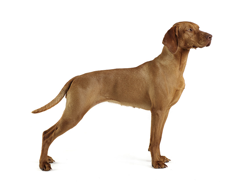 Vizsla poil court tout sur cette race de chien - Braque hongrois a poil court ...