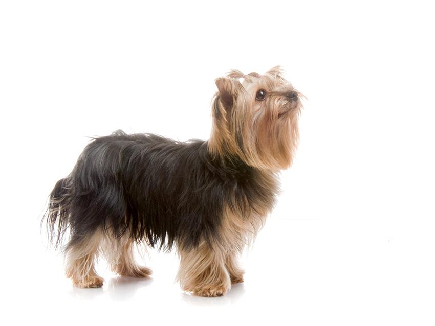 Yorkshire Terrier Caracteristiques Education Sante Prix
