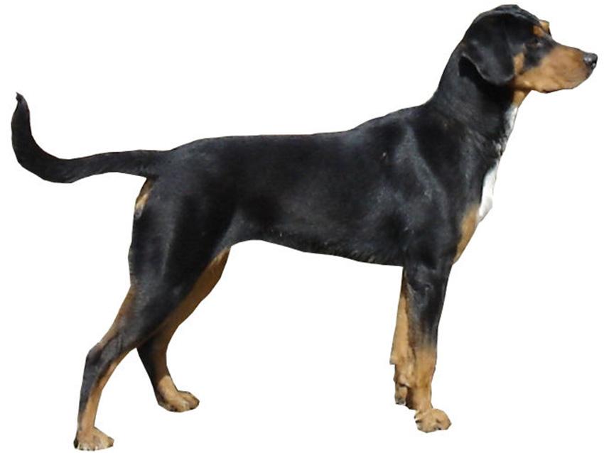 club de race du chien courant de transylvanie france 0 clubs de race du chien courant de. Black Bedroom Furniture Sets. Home Design Ideas