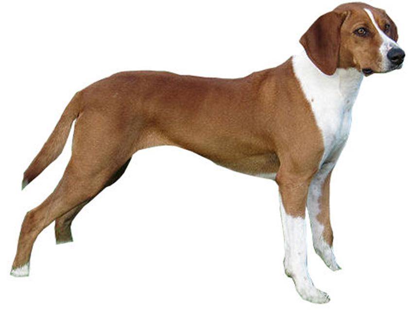 Chien Courant de Hygen : tout sur cette race de chien