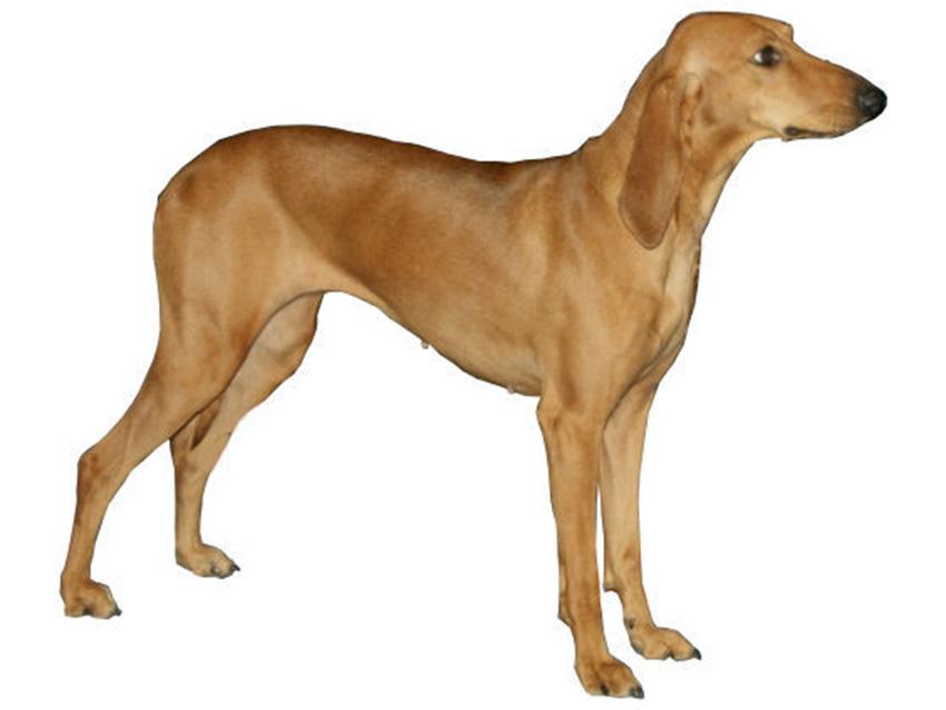 Chien courant italien poil ras tout sur cette race de - Enlever poil de chien voiture ...