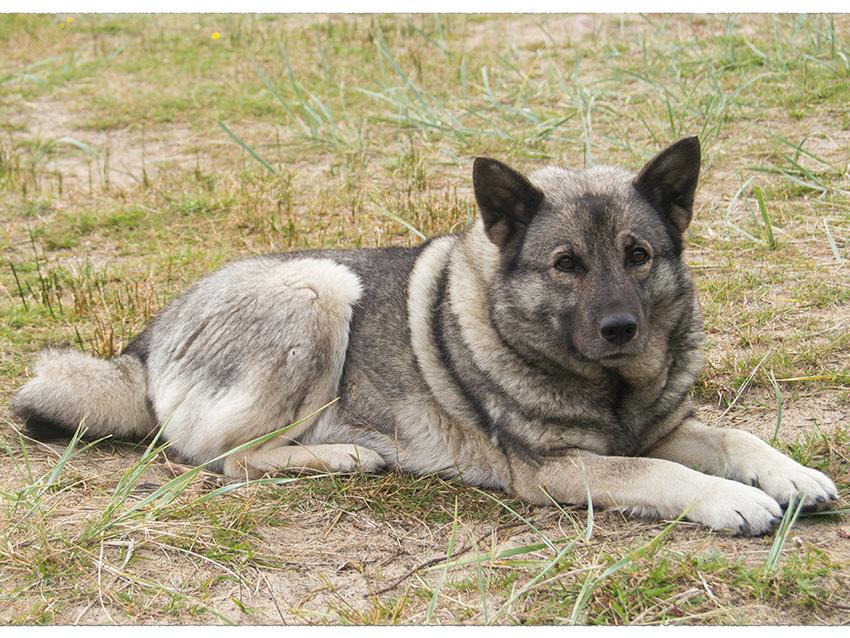 chien d 39 elan norv gien gris tout sur cette race de chien. Black Bedroom Furniture Sets. Home Design Ideas