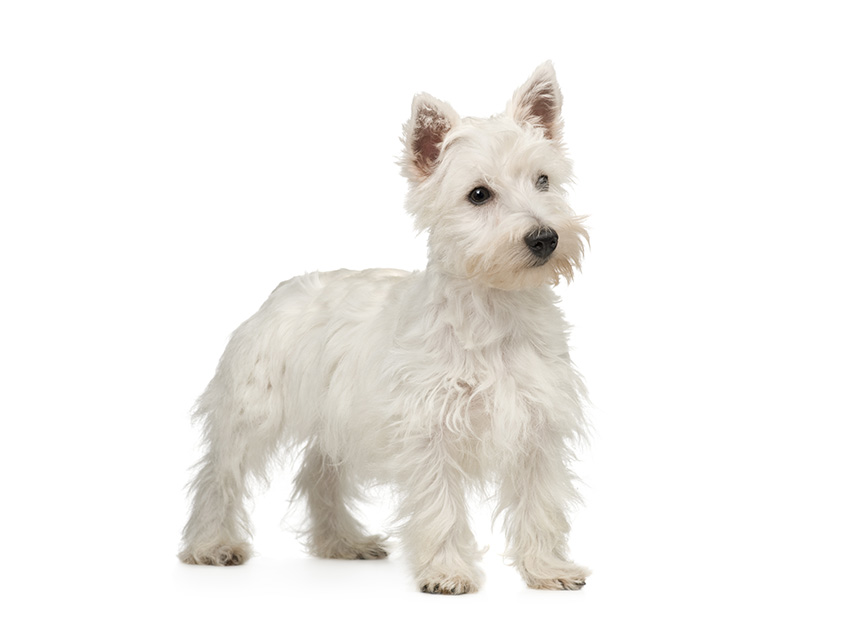 club de race west highland white terrier