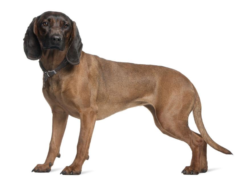 chien de rouge de bavi re tout sur cette race de chien. Black Bedroom Furniture Sets. Home Design Ideas