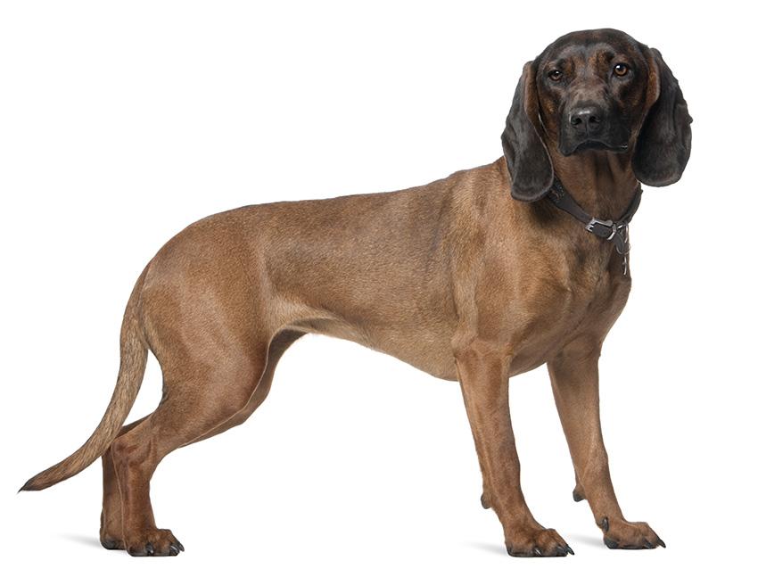 chien de rouge de hanovre tout sur cette race de chien. Black Bedroom Furniture Sets. Home Design Ideas
