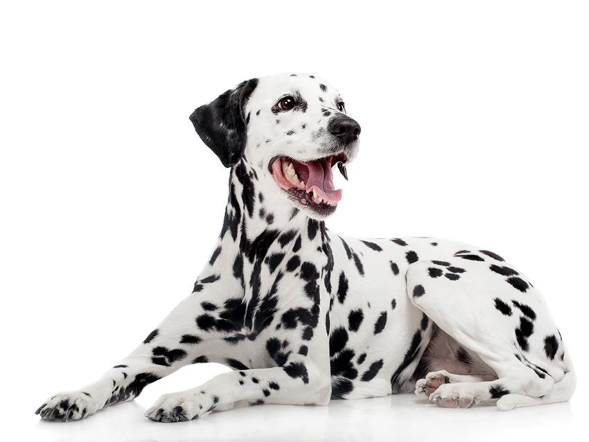 Petites Annonces Dalmatien Adoption Vente Don Saillie