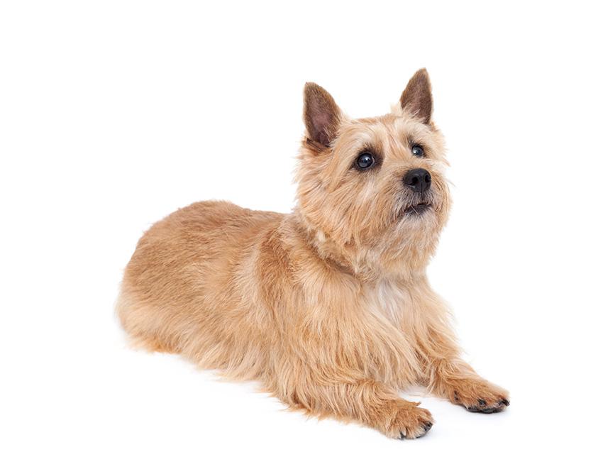 Élevage de Norwich Terrier : annuaire des éleveurs de ...