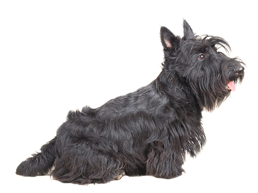 Petites Annonces Scottish Terrier Adoption Vente Don Saillie