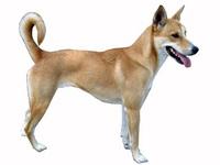American Dingo