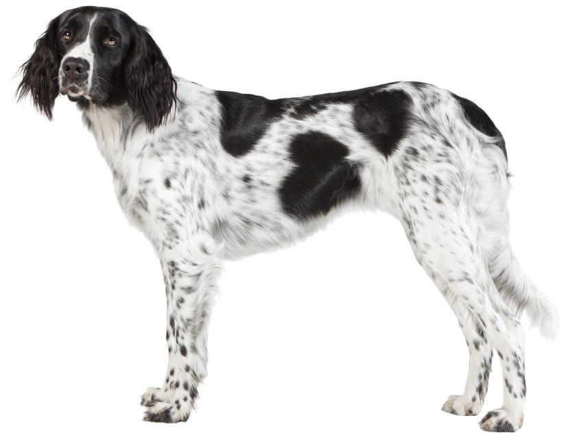 Grand épagneul de Münster : tout sur cette race de chien