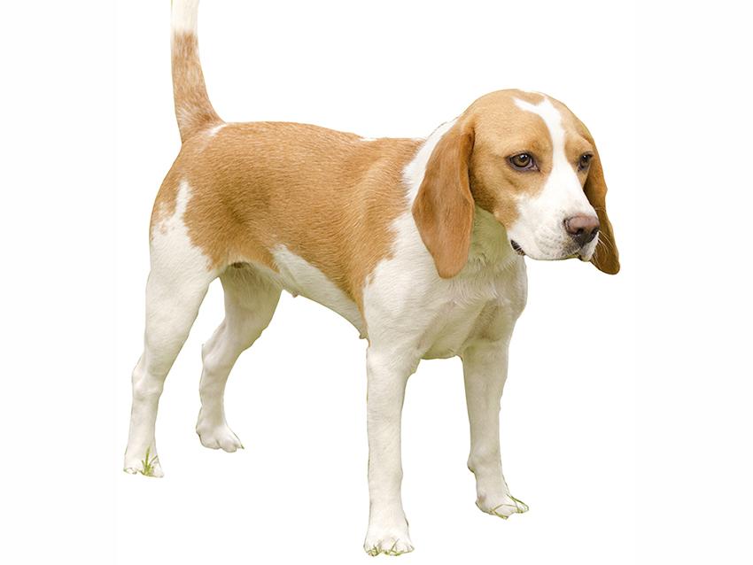 Chien courant d 39 istrie poil ras standard officiel fci - Enlever poil de chien voiture ...