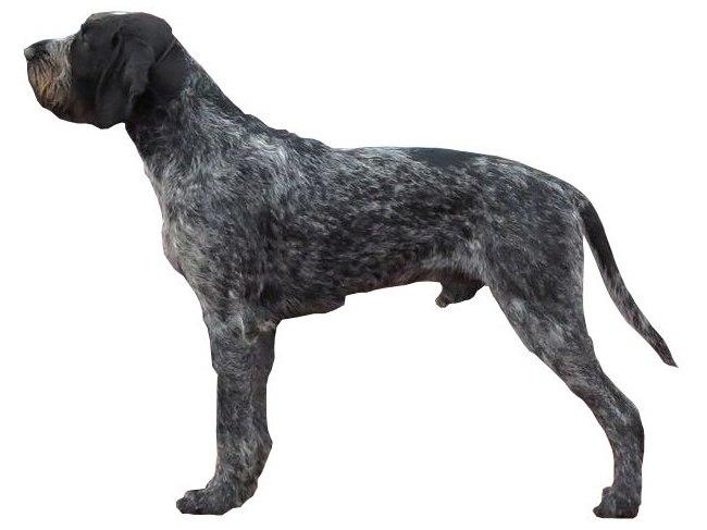 brack allemand chien