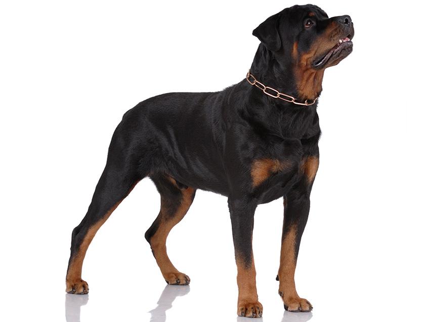 Petites Annonces Rottweiler Adoption Vente Don Saillie