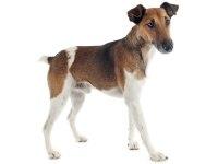 club de race fox terrier