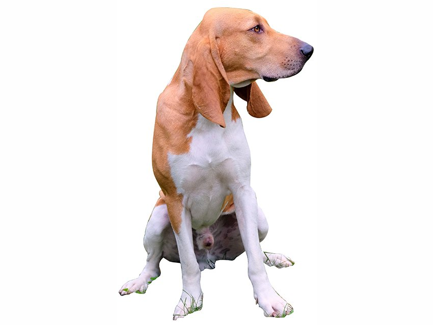 levage de petit chien courant suisse france 0 leveurs de petits chiens courant suisses. Black Bedroom Furniture Sets. Home Design Ideas