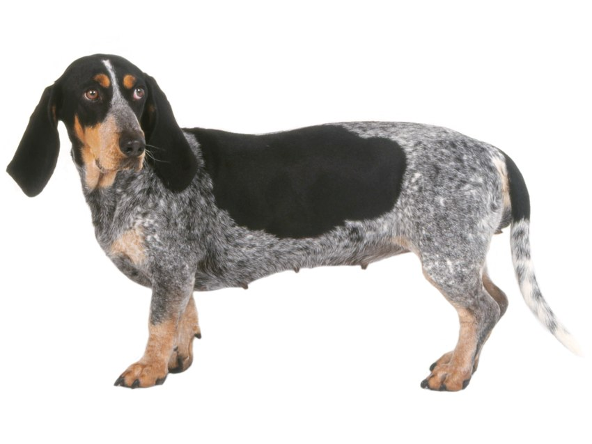 Basset bleu de gascogne tout sur cette race de chien - France bleu gascogne grille des programmes ...