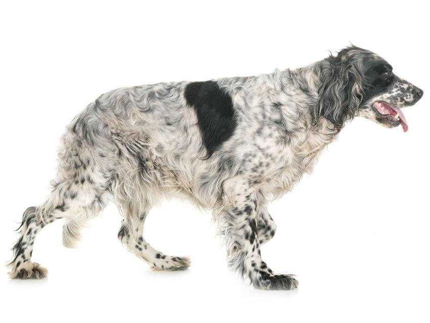 Setter Anglais : tout sur cette race de chien