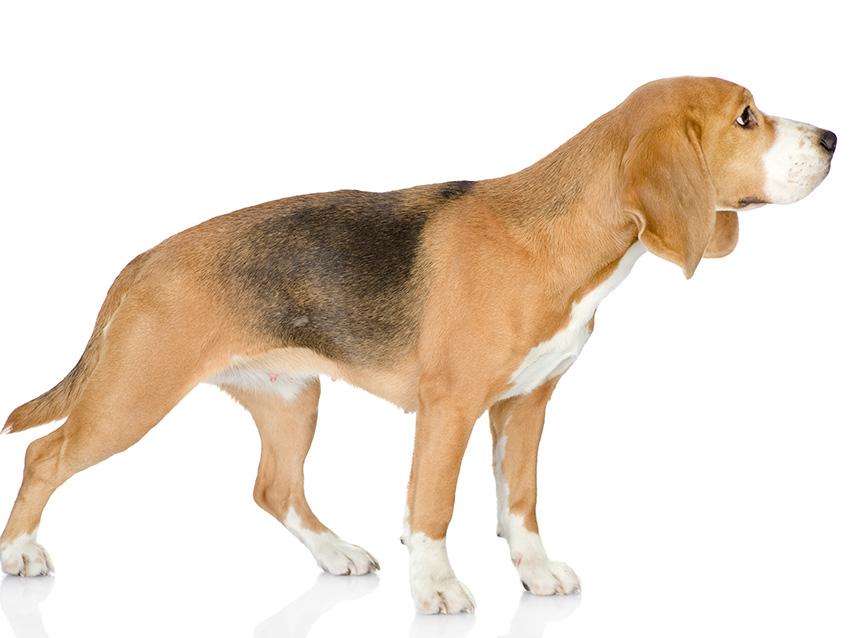 Petites Annonces Beagle Adoption Vente Don Saillie