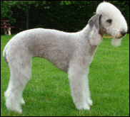 Bedlington terrier de l'élevage de la source du diamant bleu